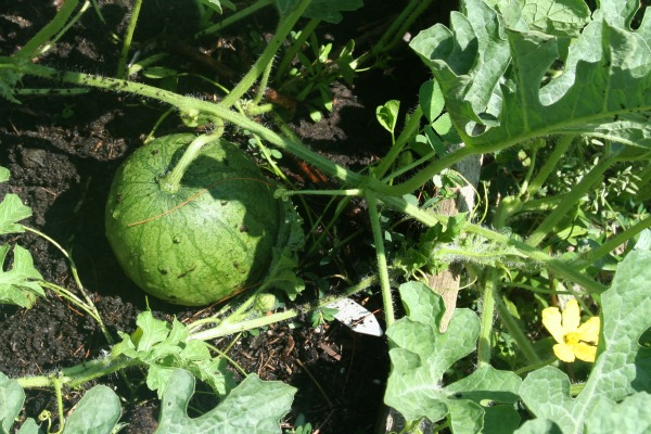watermelon aug 1