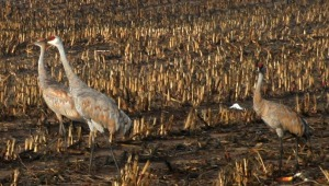sand hill cranes in fall 2013