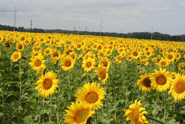 sunflower field grasston nd