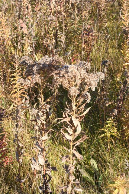 goldenrod seed