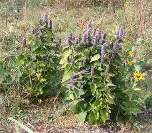 hyssop plants