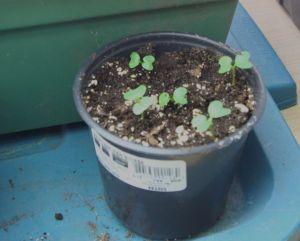 kale seedlings feb 15