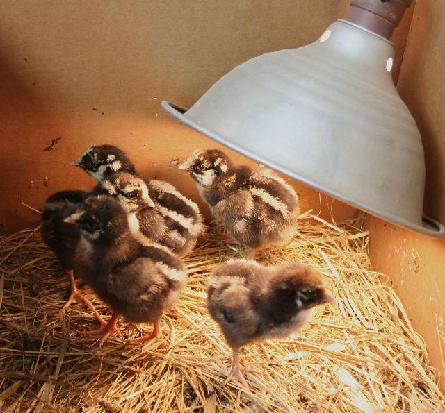 chicks Apr 28 15 2