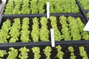 rows of greens