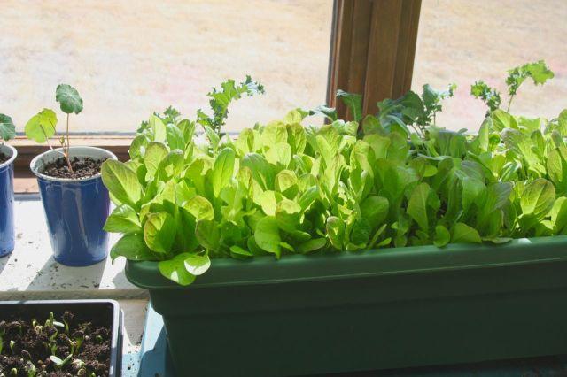 windowsill lettuces 3-28-15