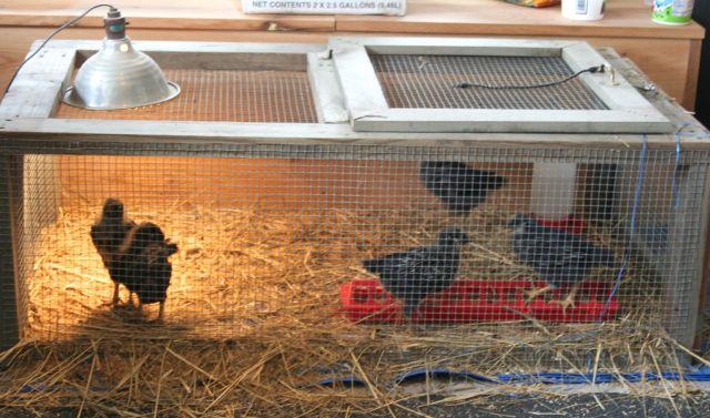 chickens 4-19-15