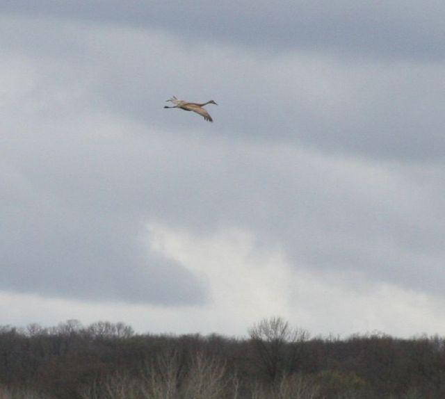 sand hill crane flying