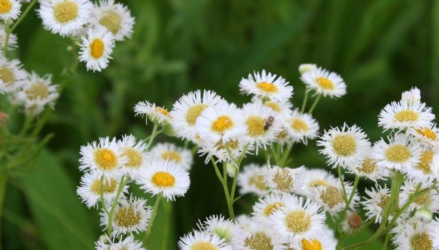daisy fleabane and the kind of tiny bees (sweat bees?) we see everywhere