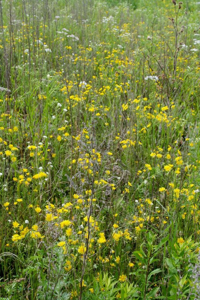 hawkweed next to the oak grove that is also filled with sprays of daisy fleabane