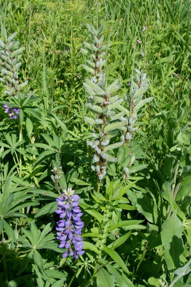 Lupine forms these excellent fuzzy seed bods after it blooms.
