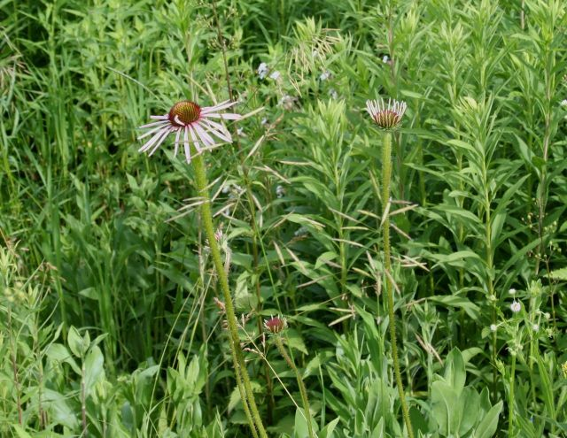 the too-early purple coneflower
