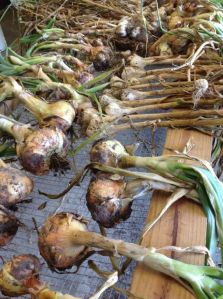 onion garlic drying close-up