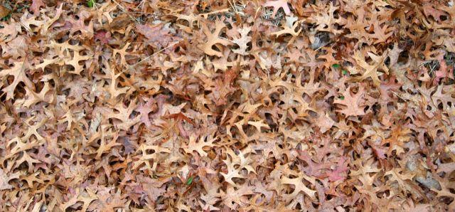 fallen oak leaves Sherburne