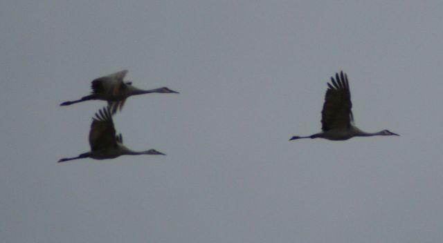 Sherburne Refuge cranes 11-4-15