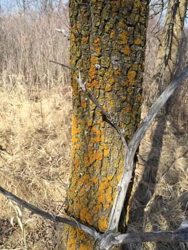 lichen tree 3-6-16